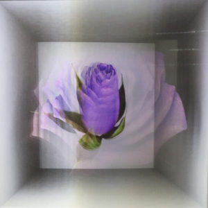 A lenticular of a purple rose blooming and dying at Scope.